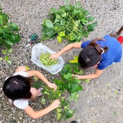 枝豆は採りたてが最高 畑2019その4