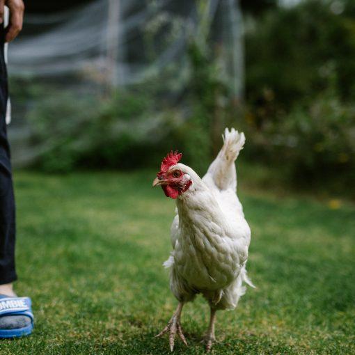 鶏を飼いたいの巻